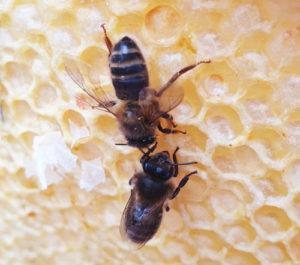Honeybees on honeycomb