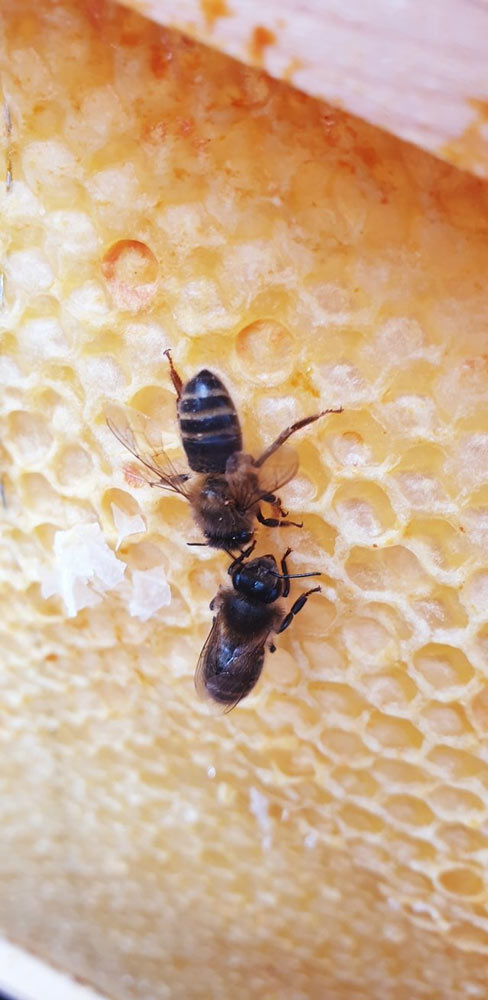 Honeybees on the honeycomb