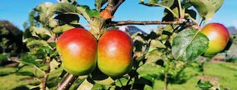 Apples in the EATS Rosyth Centenary Orchard
